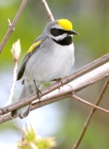 An iconic bird of early successional forest habitat, the boldly patterned Golden-winged Warbler has experienced declines across its range in recent decades, including a 98% decline in the Appalachian Mountains. © Bill Hubick