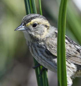 Saltmarsh Sparrow at Coastal Maine at Popham Beach State Park © Dave Krueper c