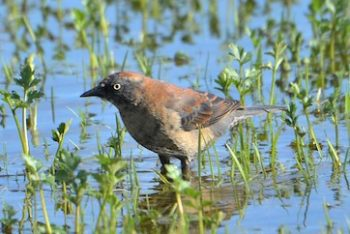 Rusty Blackbird population have declined precipitously in recent decades. The Rusty Blackbird Working Group is coordinating efforts internationally to better understand the basic ecology and distribution of this Common Bird in Steep Decline. © Carol Riddell/Macaulay Library - Cornell Lab of Ornithology