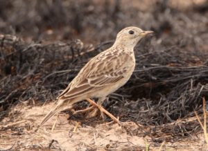 Sprague's Pipit © Mark Brown/Macaulay Library, Cornell Lab of Ornithology
