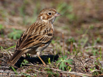 Oregon Vesper Sparrow