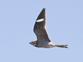 Common Nighthawks are aerial insectivores, mostly active as dawn and dusk ©Bill Bouton (http://www.flickr.com/photos/billbouton/4739339970/)