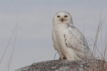 The enigmatic Snowy Owl, sometimes called the White Owl, is the heaviest owl in North America and a close relative of the Great Horned Owl. © Christian Artuso