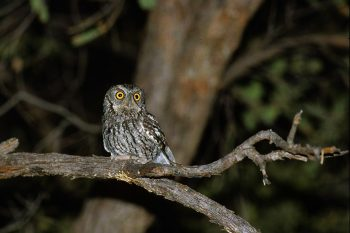 A singing Whiskered Screech-Owl in Arizona © Christian Artuso