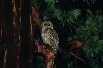 A California Spotted Owl perched on a massive cedar in Sequoia National Park. Photo: Christian Artuso