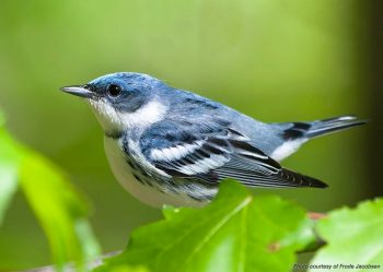 Cerulean warbler is example of putting conservation biology concept into practice.