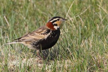 Chestnut-collared Longspur © Christian Artuso