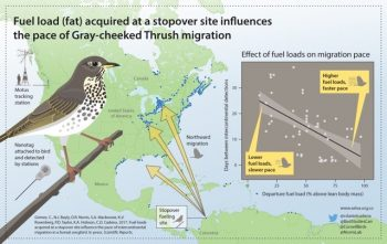 A graphic depicting how Gray-cheeked Thrush migration pace is related to body condition.