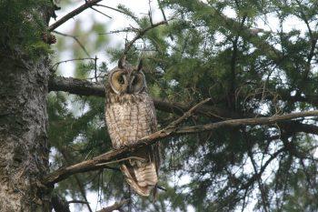 Long-eared Owl © Christian Artuso