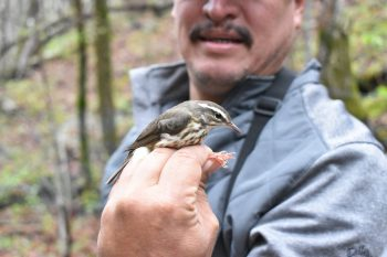 Guatemalan conservationists participate in capturing tagged Louisiana Waterthrush in Tennessee as part of an exchange program.