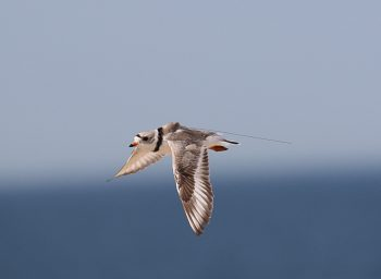 Photo shows a nanotag attached to a flying Piping Plover
