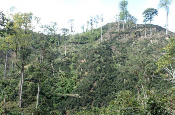 Photo shows conversion of forest to coffee production within the Pico Pijol National Park in Honduras