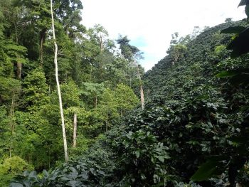 Photos shows example of what the Integrated Open Canopy approach to coffee production looks like